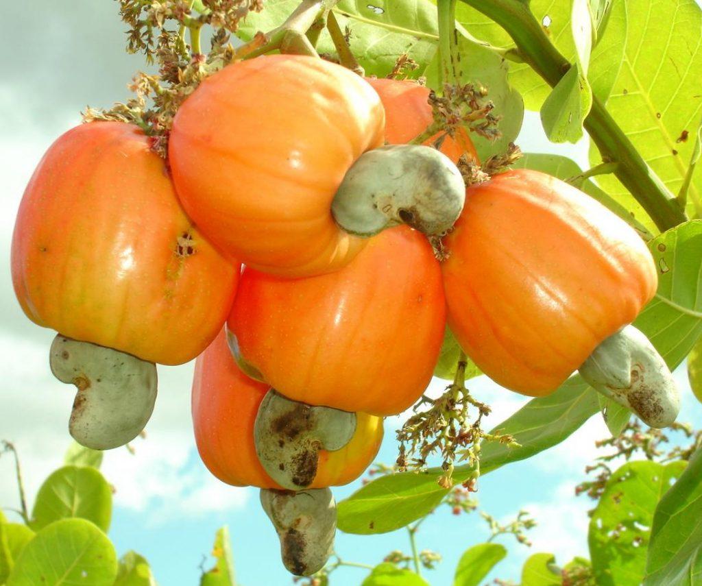 cau-brazil-fruit